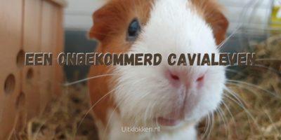 Een onbekommerd cavialeven